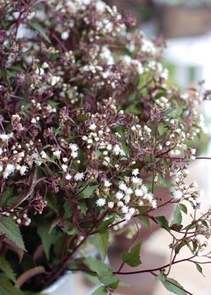 <h2><br/>茎は黒っぽく、ふわふわの白い小花が咲きます。アレンジメントなどに添えるとやわらかい雰囲気になります。</h2>