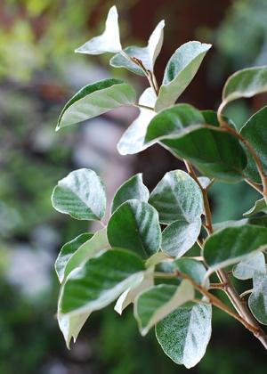<h2><br/>ほんのりシルバーがかったグリーン。葉も枝もしっかりしていて、ブーケやアレンジに合わせると大人っぽく仕上がります。</h2>