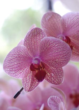 <h2><br/>赤紫の網目模様の胡蝶蘭。たいへん珍しく個性的なブーケに仕上がります。合わせるお花によって洋装にも和装にも似合うブーケになります。</h2>