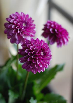<h2><br/>花径8センチくらいの小ぶりなポンポン咲きダリアです。美しいモーヴカラーのブーケをお探しの方にオススメです。</h2>