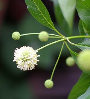 <h2><br/>アカネ科の植物。緑色のつぼみが先端に集まっている様子は、線香花火のようにユニークです。お花が咲くと白くなります。他のお花の引き立て役として、グリーンとして使いたい。</h2>
