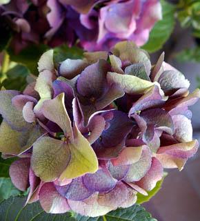 <h2><br/>オリーブ色からエンジ色をした、渋い色のあじさいです。主役のお花を引き立てる脇役として大変人気の花材です。ニュアンスカラーのブーケにおすすめです。</h2>