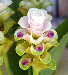 <h2><br/>中心にむかってほんのりピンク色を帯びた小さな種類のクルクマ。個性的で品のあるお花です。デザインブーケやエキゾティックなイメージにぴったりです。</h2>