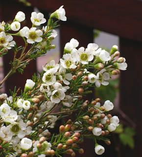 <h2><br/>白い小さな花が主役の花を引き立てます。秋から冬にお目見えする輸入花。ピンクや中間色も人気があります。</h2>