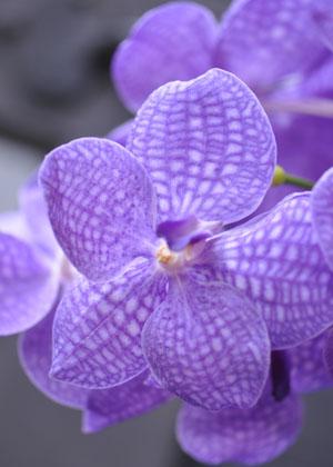 <h2><br/>他にはない色鮮やかなブルーの蘭。個性的で素敵な和装ブーケを希望される方にオススメです。</h2>