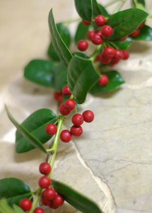 <h2><br/>まっかな実と、とがった葉っぱが特徴。アレンジに加えると華やかに クリスマスを 演出してくれます。</h2>