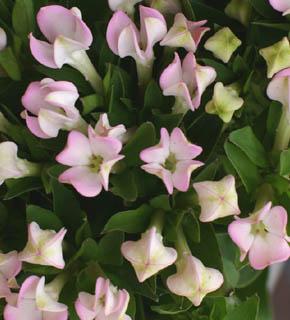 <h2><br/>ピンク色のブバリアの変わり咲き。花びらがくるっとカールしてキュートです。ブーケなどの脇役のお花として使います。</h2>