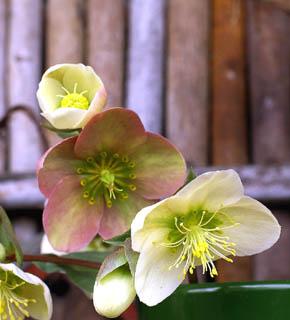 <h2><br/>咲き進むにつれて、花の色が濃くなってくる不思議な品種。一重咲きの上品なお花。うつむき気味に咲く可憐さをいかしたブーケに仕立てましょう。シックで大人っぽいイメージが似合うお花です。</h2>