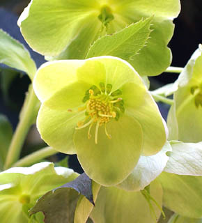 <h2><br/>黄緑色の丸みを帯びた花びら。クリスマスローズの中では、大きい種類になります。花でありながらグリーンぽく使って、メインのお花を最高に引き立ててくれます。高価で贅沢なお花です。</h2>