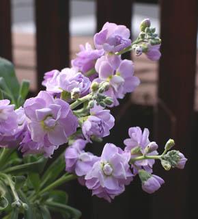 <h2><br/>水彩画のようなやわらかいタッチのお花です。ピンク・白・むらさき・アプリコット・クリームなど花の色は豊富です。11月から4月くらいまで入荷します。芳香のあるお花。</h2>