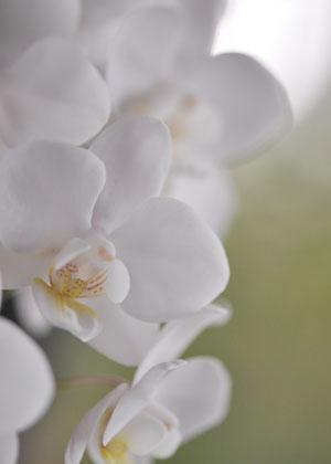 <h2><br/>「こちょうらん」と呼ばれる洋らんです。お花のサイズも大輪から小輪種までありますので、デザインによってお選びください。気品のある華麗なブーケに!</h2>