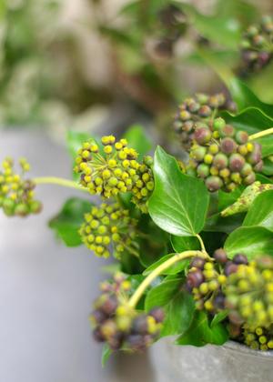 <h2><br/>ころんとかわいらしく実がついたアイビーの実。秋頃までは黄緑色ですが、冬になるにつれ黒く色づいてきます。</h2>
