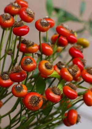 <h2><br/>光沢のある赤い実は秋のアレンジやクリスマスのアレンジにぴったり。バラの咲いたあとが膨らんだもの。</h2>