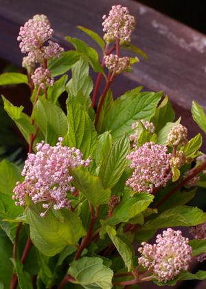<h2><br/>小さなピンクの実が集まったかわいらしイメージの実ものです。葉の色もきれいなのでさわやかな雰囲気になります。</h2>