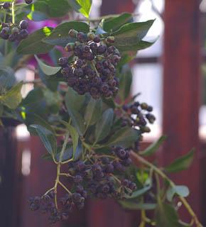 <h2><br/>秋から冬にかけて、黒い実を付けるヘデラは、ブーケやアレンジの脇役に、大変人気の実ものです。この黒い実を入れると、全体がシックに大人っぽく仕上がります。</h2>