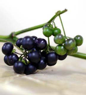 <h2><br/>黒真珠の名の通り、紫色を限りなく黒に近づけた、光沢のある秋の実もの。枝ごとアレンジしたり、ひとつずつブーケに入れることもできます。</h2>