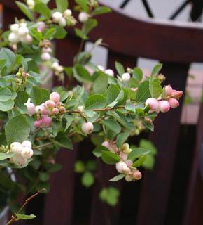 <h2><br/>ほんのりピンク色をした果実はまるで照れた花嫁のよう。秋の貴重な実ものとして大変人気があります。ブーケにもアレンジにもぜひ使いたい。</h2>