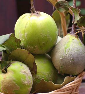 <h2><br/>明るい黄緑色の果実。お花のアレンジ用に出荷されるので、5㎝~7cm程度と小ぶりでかわいいサイズです。テーブルアレンジなどにおすすめしたい秋の実物です。</h2>