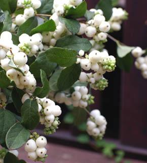 <h2><br/>スノーホワイトの果実は小さな白玉のよう。最高にかわいい秋の実ものです。淡いピンクもあり、ブーケやアレンジに真珠のような演出ができる花材です。</h2>