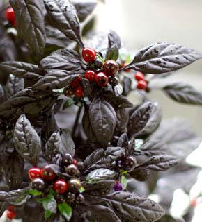 <h2><br/>まばゆいほど黒く光る葉に宝石のように輝く丸い赤い実。赤や紫色のお花との組合せによって絵画的な色彩を可能にする、レアな実物です。</h2>