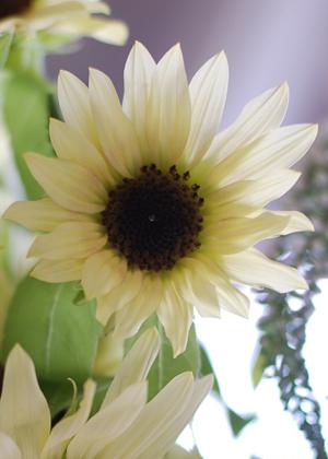 <h2><br/>ホワイトの花弁と濃い中心の色合いが、月が昇るように見えるところから名付けられたひまわり。小ぶりでかわいらしく咲く姿は夏の花嫁さんにぴったりです。</h2>