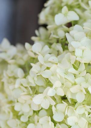 <h2><br/>つぼみの頃には緑色で、開くにつれて薄い緑から真っ白に変わる清楚なアジサイ。たくさんの小さなお花が集まった花房は直径20cm以上にもなります。</h2>