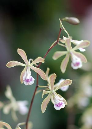 <h2><br/>ランの一種。まるで蝶が舞っているように繊細で美しく、存在感のあるお花です。花もちが大変よく、ブーケにも花束にも使います。</h2>