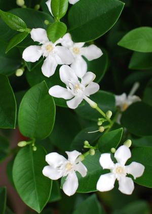 <h2><br/>高温を好み、夏になると小さな純白の花を咲かせます。葉の形も美しく、キャスケードなどラインを出すブーケによく似合います。</h2>