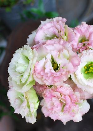 <h2><br/>ひらひらの花びらがふんわりと優しい印象を与えてくれます。組み合わせの幅が広く、ブーケやアレンジにもおすすめです。</h2>