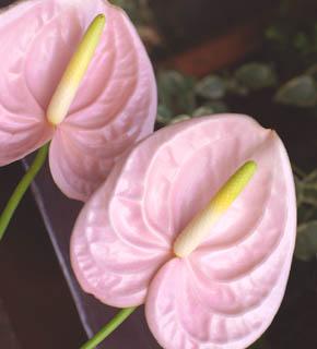 <h2><br/>淡いピンク色のアンスリュームは、個性的な形の割りに、愛らしさがあります。夏のウエディングの演出には、ぴったりです。ブーケにもアレンジにもおすすめです。</h2>