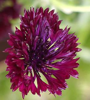 <h2><br/>矢車のような花の形からこのような名前が付いたのもうなずけます。白・紫・ブルー・ピンクなどの色があります。ナチュラルな野の趣きをいかして、ブーケやアレンジに使いたいお花です。</h2>