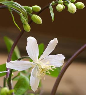 <h2><br/>小さい白いお花は、まるでお星さまのように愛らしく、花嫁のブーケにぴったりです。茎の柔らかいラインを生かして流れるデザインに使いたいお花です。</h2>