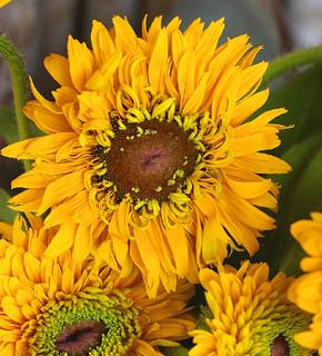 <h2><br/>太陽のようにまばゆいばかりの黄い花びらお花の芯が茶色の 個性的なお花です。明るいビタミンカラーが健康的なイメージのお花です。</h2>