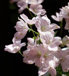 <h2><br/>青いお花でおなじみのデルフィニューム。こちらは、淡いピンク色、透明感のあるお花です。ブーケの添え花としてどうぞ。</h2>