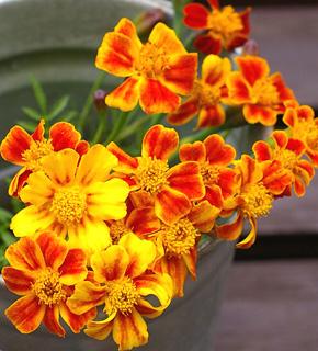 <h2><br/>燃えるような情熱的オレンジ色&times;黄色のお花です。ブーケやアレンジの挿し色に使ってビタミン系の明るいイメージにしてみては?2月~10月くらいまで、出回ります。</h2>