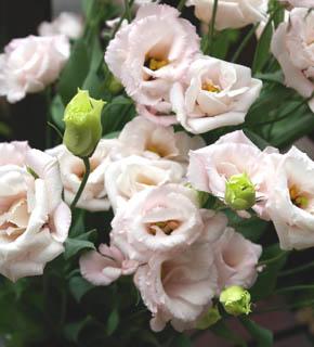 <h2><br/>優しく落ち着いたピンク色、エレガントな咲き方はとても女性的なお花です。組合せの幅は広く、とりわけ優しい雰囲気のお花と相性がいい。</h2>