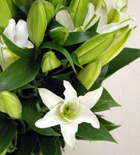 <h2><br/>ユリの女王カサブランカをひとまわり小さくした、清楚で気品のある白ユリ。クラシカルなイメージの演出におすすめの花材です。1年中入荷します。</h2>