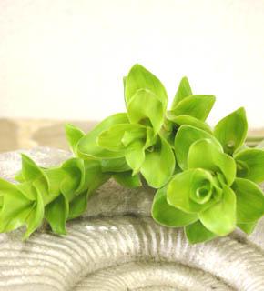 <h2><br/>個性的なフォルムをいかしてデザインブーケや和装ブーケに使いたい花材です。主になるお花の添えとして使います。夏にたくさん出回ります。</h2>