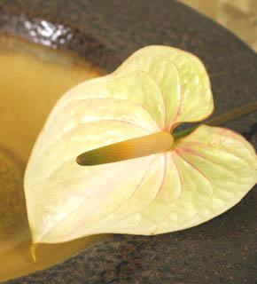 <h2><br/>白い苞にほんのりとピンクの筋が入っています。夏のブーケやアレンジにさわやかさとインパクトを出してくれるお花です。</h2>