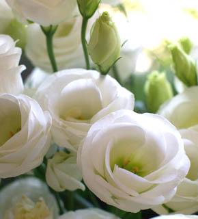 <h2><br/>白の八重咲き。カップのような咲き方が可愛いらしい雰囲気を出している。1年中オーダーできます。</h2>