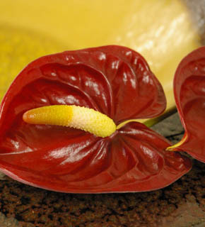 <h2><br/>情熱的な深い赤をいかしてインパクトの あるブーケやアレンジに。南国風にもエキゾティックにもなります。</h2>