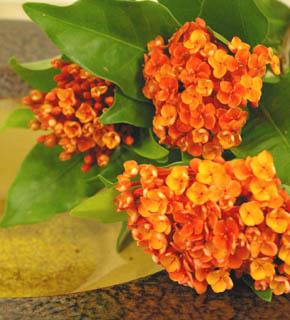 <h2><br/>はっきりとしたオレンジ色のお花。光沢あるライムグリーンの葉が美しい。同系色にまとめても、ビタミンカラーに仕上げてもきれいです。</h2>