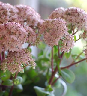 <h2><br/>ピンクの花、エンジ色の茎が美しい。脇役のお花として人気のある花材です。ブーケにもアレンジにもおすすめです。夏限定の花材となります。</h2>