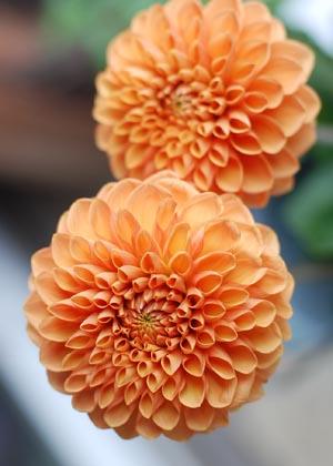 <h2><br/>やさしい色合いが美しい大輪咲きのダリアです。和装に持つブーケやウェディングドレスにもよく似合います。</h2>