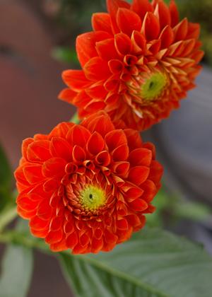 <h2><br/>インパクトのある明るい朱色の大輪ダリア。色、形ともに主役級の華やかさ。花びら一枚一枚が美しく、和装に持つブーケにぴったりです。</h2>