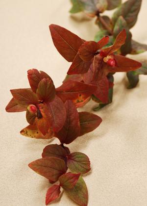 <h2><br/>紅葉したヒペリカム。葉の色が秋らしく、花と合わせて秋のアレンジに仕上げます。ナチュラルなガーデンウェディングにもぴったりです。</h2>