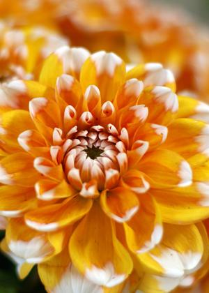 <h2><br/>オレンジのグラデーションが印象的な中輪ダリア。色、形ともに主役級の華やかさ。和装にもよく似合います。</h2>