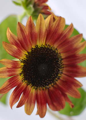 <h2><br/>秋の初めに咲く向日葵。濃褐色の一重咲きでエンジとクリームのグラデーションがとてもきれいです。しなやかな茎なので、花の向きに動きが出てナチュラルな仕上がりになります。</h2>
