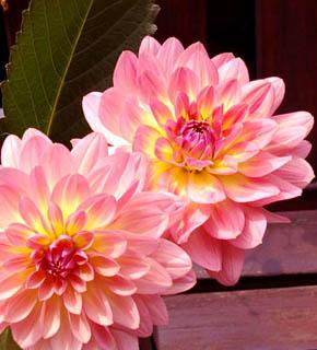 <h2><br/>すい蓮のような花型が印象的。オレンジ色を帯びたピンクのダリアです。花びらの色のグラデーションから「あかね色の空」を想わせる、ということでしょうか?バラのような洋風のお花と合わせると素敵です。</h2>