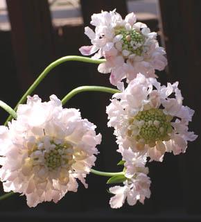 <h2><br/>秋の花になりますが、真夏を除き、1年中入荷します。白・紫・ピンク・赤と色も豊富。茎のやさしいラインが野の趣きをかもし出し雰囲気のあるブーケやアレンジにしてくれます。特に、白いお花はブーケ用に人気があります。</h2>
